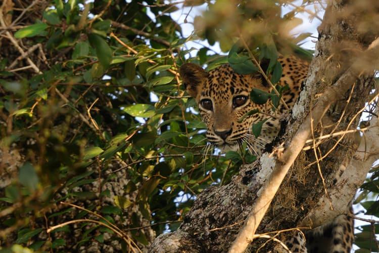 Leopard in Wilpattu national park