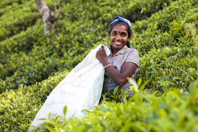 Tea plantation worker in Sri Lanka