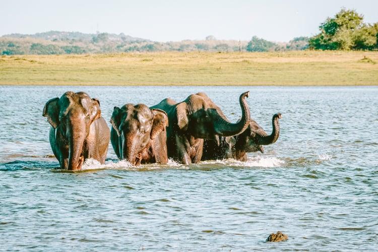Elephants in Yala