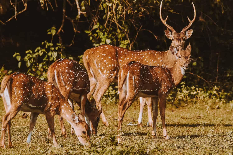 Deer in Yala national park