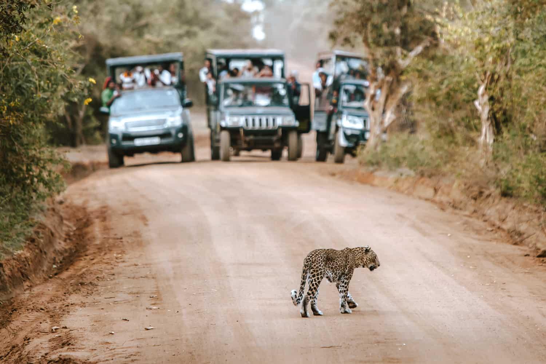 Leopard safari in Yala