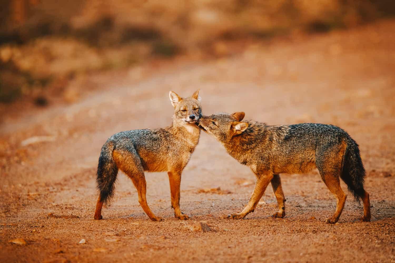 jackals in Wilpattu national park